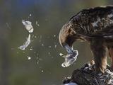 Golden Eagle (Aquila Chrysaetos) Plucking Capercaillie (Tetrao Urogallus) Kuusamo, Finland, April Fotografie-Druck von Markus Varesvuo
