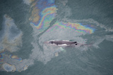 Aerial View of Humpback Whale (Megaptera Novaeangliae) Swimming Through Oil Slick Fotografisk tryk af  Carwardine