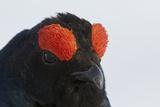 Male Black Grouse (Tetrao - Lyrurus Tetrix) Portrait, Utajarvi, Finland, May Fotografie-Druck von Markus Varesvuo