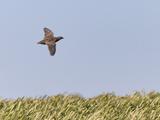 Common Quail (Coturnix Coturnix) Flying over Field, Spain, May Fotografie-Druck von Markus Varesvuo