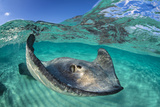 Split Level Image of a Southern Stingray (Dasyatis Americana) Swimming over a Sand Bar Fotografie-Druck von Alex Mustard