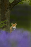 Red Fox (Vulpes Vulpes) Peering from Behind Tree with Bluebells in Foreground, Cheshire, June Photographic Print by Ben Hall