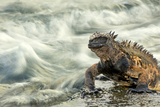 Marine Iguana (Amblyrhynchus Cristatus) on Rock Taken with Slow Shutter Speed to Show Motion Photographic Print by Ben Hall