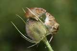 Harvest Mice (Micromys Minutus) on Teasel Seed Head. Dorset, UK, August. Captive Fotografie-Druck von Colin Varndell