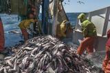 Fishermen Sorting Haddock (Melanogrammus Aeglefinus) Photographic Print by Jeff Rotman