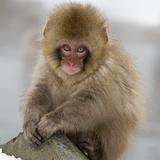 Japanese Macaque (Macaca Fuscata) Juvenile Portrait, Jigokudani, Japan. February Fotografisk trykk av Diane McAllister