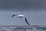 Southern Royal Albatross (Diomedea Epomophora) Flying over Sea Reproduction photographique par Brent Stephenson