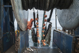 Hauling in Dragger Net Filled with Haddock (Melanogrammus Aeglefinus) Photographic Print by Jeff Rotman