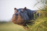 Hippopotamus (Hippopotamus Amphibius) Out of the Water, Peering around Vegetation Fotografisk tryk af Wim van den Heever