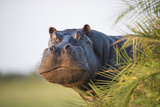 Hippopotamus (Hippopotamus Amphibius) Out of the Water, Peering around Vegetation Fotografie-Druck von Wim van den Heever