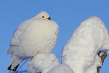 Willow Grouse - Ptarmigan (Lagopus Lagopus) Fluffed Up Perched in Snow, Inari, Finland, February Reproduction photographique par Markus Varesvuo