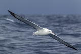 Southern Royal Albatross (Diomedea Epomophora) Flying Low over the Sea Fotografie-Druck von Brent Stephenson