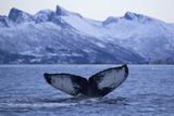 Humpback Whale (Megaptera Novaeangliae) Tail Fluke Above Water before Diving Reproduction photographique par  Widstrand