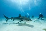 Scuba Diver and Tiger Shark (Galeocerdo Cuvier) Northern Bahamas, Caribbean Sea, Atlantic Ocean Fotografie-Druck von Franco Banfi