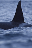 Dorsal Fin of Orca - Killer Whale (Orcinus Orca) Surfacing Reproduction photographique par  Widstrand