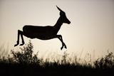 Impala (Aepyceros Melampus) Leaping Reproduction photographique par Richard Du Toit