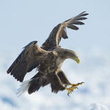 White Tailed Sea Eagle (Haliaeetus Albicilla) in Flight Landing, Hokkaido, Japan, February Fotografie-Druck von Wim van den Heever
