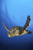 Hawksbill Turtle (Eretmochelys Imbricata) Male Swimming in Open Water Above a Coral Reef Photographic Print by Alex Mustard