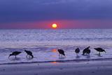 Willets (Catoptrophorus Semipalmatus) Feeding at Sunset Gulf Coast, Florida, USA, March Trykk på strukket lerret av Ernie Janes