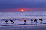 Willets (Catoptrophorus Semipalmatus) Feeding at Sunset Gulf Coast, Florida, USA, March Stampa su tela di Ernie Janes