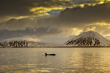 Orca (Orcinus Orca) Swimming in Sea Surrounded by Mountains at Sunset, Iceland, January Photographic Print by Ben Hall
