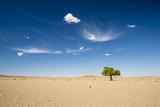 Elm Tree (Ulmus) in Gobi Desert, South Mongolia Photographic Print by Inaki Relanzon
