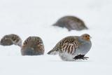 Four Grey Partridges (Perdix Perdix) on Snow, Kauhajoki, Finland, January Fotografie-Druck von Markus Varesvuo