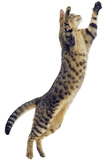 Silver Tabby Domestic Cat (Felis Catus) Leaping, UK Reproduction photographique par Jane Burton