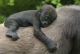 Western Lowland Gorilla (Gorilla Gorilla Gorilla) Baby Age 45 Days Fotografie-Druck von Edwin Giesbers