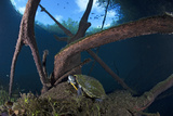 Mesoamerican Slider Turtle - Terrapin (Trachemys Scripta Venusta) in Sinkhole Fotografisk tryk af Claudio Contreras