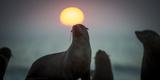South African Fur Seal (Arctocephalus Pusillus Pusillus) with Setting Sun, Walvis Bay, Namibia Fotografie-Druck von Wim van den Heever