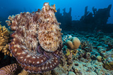 Reef Octopus (Octopus Cyanea) Portrait Near Wreck. Gubal Island, Egypt. Red Sea Fotoprint van Alex Mustard
