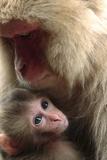 Japanese Macaque (Macaca Fuscata) Nursing One Month Old Baby Fotografisk trykk av Yukihiro Fukuda