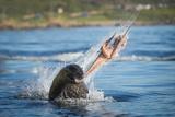 South African Fur Seal (Arctocephalus Pusillus Pusillus) Bull Breaking Apart Octopus Fotoprint van Wim van den Heever