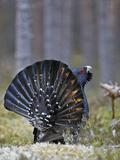 Male Capercaillie (Tetrao Urogallus) Displaying, Jalasjarvi, Finland, April Reproduction photographique par Markus Varesvuo