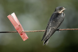 Juvenile Swallow (Hirundo Rustica) Perched on Clothes Line. Bradworthy, Devon, UK Reproduction photographique