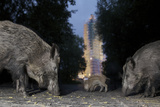 Wild Boar (Sus Scrofa) Sow Fotografisk trykk av Florian Mallers
