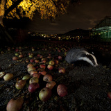 Badger (Meles Meles) under a Garden Apple Tree at Night. Freiburg Im Breisgau, Germany, November Photographic Print by Klaus Echle