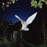 Barn Owl Lámina fotográfica