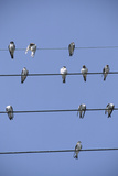 House Martins Gather on Telephone Wires (Delichon Urbicum) France Reproduction photographique