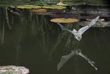 Natterer's Bat (Myotis Nattereri) About to Drink from the Surface of a Lily Pond, Surrey, UK Lámina fotográfica por Kim Taylor