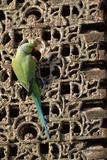 Rose Ringed Parakeet Stampa fotografica
