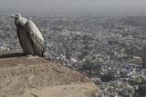 Long-Billed Vulture (Gyps Indicus) Reproduction photographique par Bernard Castelein