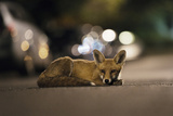 Young Urban Red Fox (Vulpes Vulpes) Lying in Road with Street Lights Behind. Bristol, UK, August Lámina fotográfica por Sam Hobson