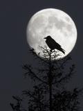 Silhouette of Hooded Crow (Corvus Cornix) Against Full Moon, Helsinki, Finland, December Fotografie-Druck von Markus Varesvuo