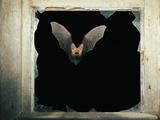 Long Eared Bat Fotografisk tryk