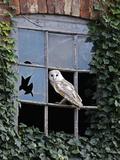 Barn Owl Sitting in Old Farm Window, Tyto Alba, Norfolk Fotografisk tryk af Paul Hobson