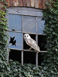 Barn Owl Sitting in Old Farm Window, Tyto Alba, Norfolk Lámina fotográfica por Paul Hobson