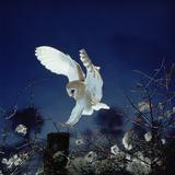 Barn Owl Fotografisk trykk