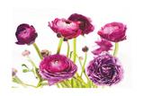 Spring Ranunculus III Arte por Laura Marshall